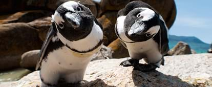 Famous Boulders Beach Penguins This Leads To More Money Help Boost Our Penguin Conservation Efforts Through South African National Parks Sanparks
